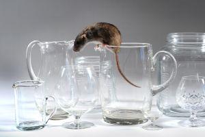 rat1.jpg